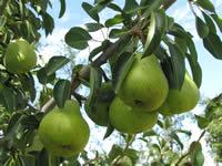 pearintree